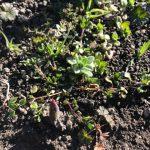 週末田舎ぐらしチューリップの芽が出た!!2月
