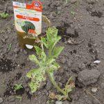 田舎暮らし スイカの苗が害虫に食われて無残2017年5月4日曇りときどき小雨