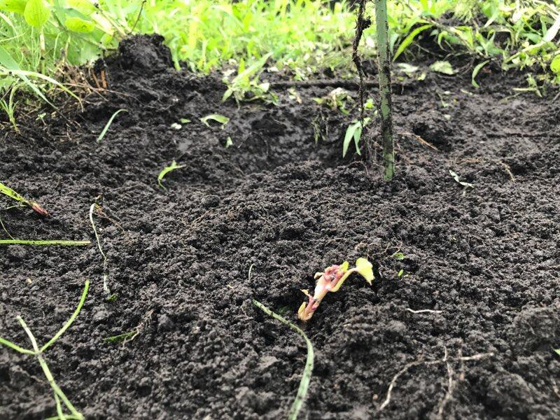 芋植えた拡大