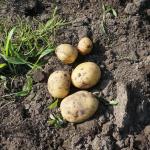 じゃがいも収穫したら予想と違った 家庭菜園記事 2017年6月3日