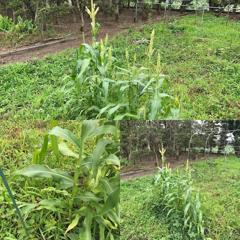 とうもろこし 栽培 失敗 トウモロコシの育て方と栽培方法!種まき~収穫まで失敗しないコツを...