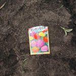 ポンポン百日草を植えてみた、スイカの分岐した枝を切断 6/10 家庭菜園ブログ