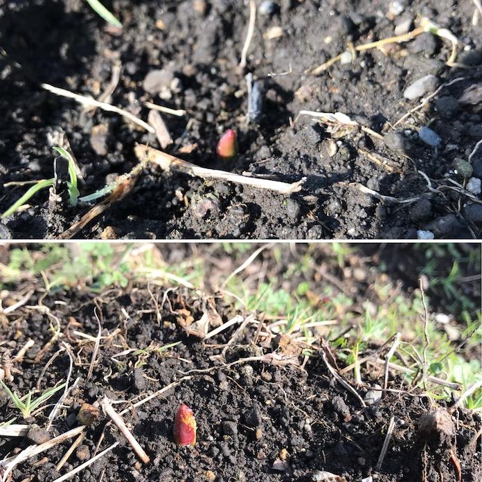 チューリップ球根から芽が出たの画像