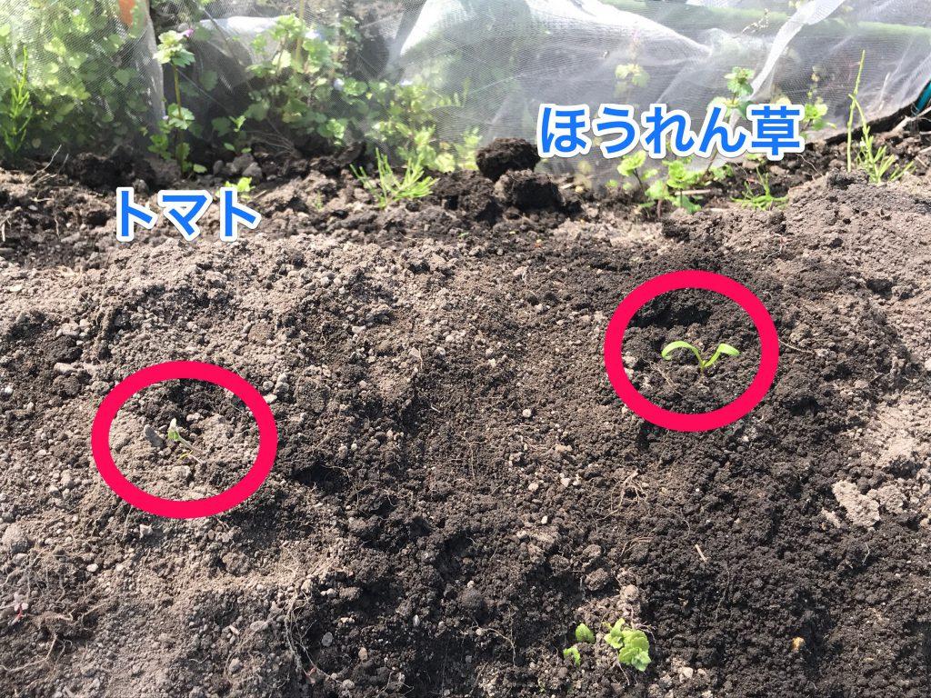 家庭菜園ほうれん草鳳仙花
