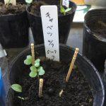 家庭菜園、枝豆、キャベツ、ホウセンカ 成長記録 2018年4月15日