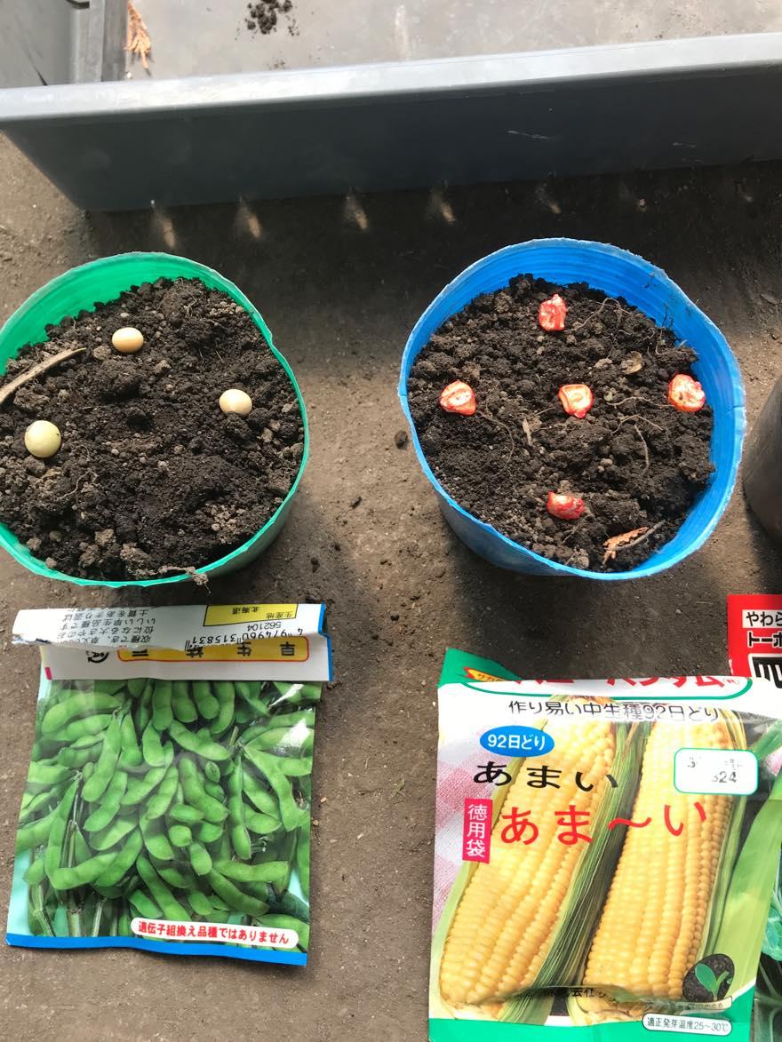 枝豆コーン種