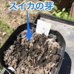 スイカの給水システム順調? スイカの芽が出た、紅あずまさつまいも植えた 2018年4月28日