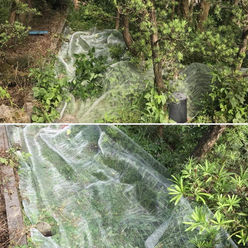 雑草防虫ネット実験