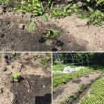 さつまいもの蔓は順調に育つ さつまいも栽培日誌 2018/05/12