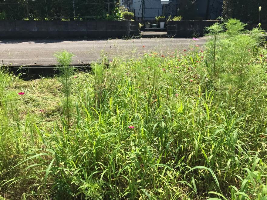 雑草の中のコスモス