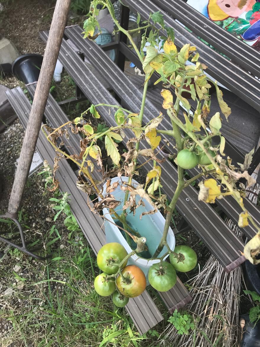 挿し木トマト枯れる